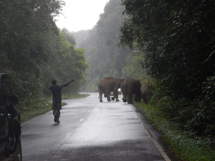 ช้างป่าเขาใหญ่